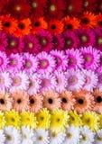Abstrakter Gerberablumen-Regenbogenhintergrund Stockfotografie