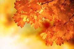 Abstrakter Herbstahornholzzweig Stockfotos