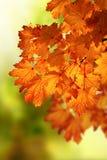 Abstrakter Herbstahornholzzweig Stockbild