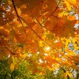 Abstrakter Herbstnaturhintergrund mit Ahornbaumblättern Lizenzfreies Stockbild