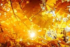 Abstrakter Herbstnaturhintergrund mit Ahornbaumblättern Stockfotos