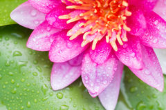 Abstrakter Hintergrund des rosa Wassers lilly Lizenzfreie Stockbilder