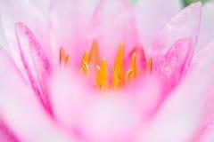 Abstrakter Hintergrund des rosa Wassers lilly Stockfotos