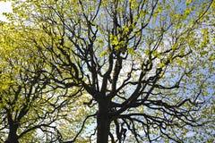 Abstrakter Hintergrund mit Niederlassungen von Limettenbäumen Lizenzfreie Stockfotografie