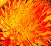 Abstrakter Hintergrund von Blumenblättern und von Blumen von Astern Stockfotos