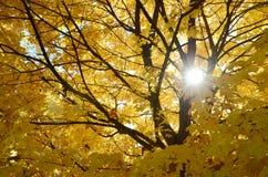 Abstrakter Hintergrund von den Blättern und von den Niederlassungen des Ahornbaums und der Sonne Lizenzfreie Stockfotos