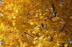 Abstrakter Hintergrund von gelben Blättern eines Ahornbaums Lizenzfreies Stockfoto