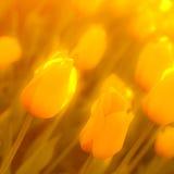 Abstrakter Hintergrund von gelben Tulpen Lizenzfreies Stockfoto