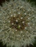 Abstrakter Löwenzahn-Samen-Kopf Stockbild