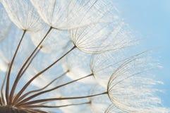 Abstrakter Löwenzahnblumenhintergrund, Nahaufnahme mit Weichzeichnung Stockfotografie