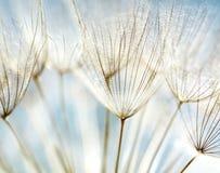Abstrakter Löwenzahnblumenhintergrund Lizenzfreies Stockfoto