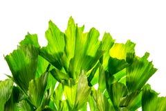 Abstrakter Naturhintergrund des tropischen Baums des grünen Palmblattes Lizenzfreie Stockbilder