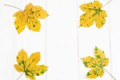 Abstrakter Plan für den Hintergrund von Ahornblättern auf weißen Brettern Lizenzfreie Stockbilder