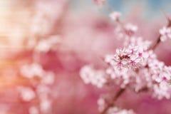 Abstrakter rosa Frühlingshintergrund mit Kirsche Kirschblüte blüht, früh Stockfotografie