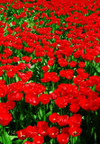 Abstrakter roter Tulpenfeldhintergrund Stockbild