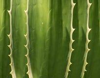 Abstrakter Sansevieria stockfotografie