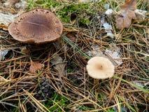 Abstrakter schöner Pilzhintergrund Autumn Forest-Tapete Lizenzfreie Stockbilder