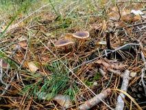 Abstrakter schöner Pilzhintergrund Autumn Forest-Tapete Lizenzfreie Stockfotos