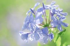 Abstrakter weicher süßer blauer purpurroter Blumenhintergrund von Thailand Lizenzfreie Stockbilder