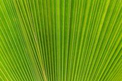 Abstraktes Bild des grünen Palmeblattes als Hintergrund Stockbilder