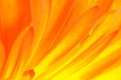 Abstraktes Detail des Gerbera - Abstraktion der Sonne strahlt aus Stockbild