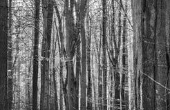 Abstraktes dunkles und düsteres Bild eines dichten Waldes mit nah stehenden Baumstämmen und die Sonne im Hintergrund, dunkelgrün lizenzfreies stockbild