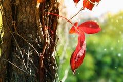 Abstraktes Foto des roten Herbstblattes auf dem alten Baum Stockbilder