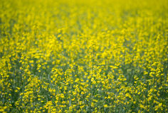 Abstraktes gelbes Ölsaat Feld Stockfotografie