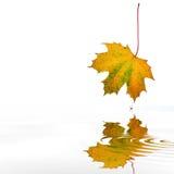 Abstraktes Herbst-Ahornblatt Stockbilder