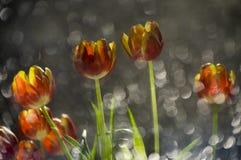 Abstraktes multy rote und gelbe gefärbt Tulpen in einer Reflexion von stockbild