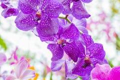 Abstraktes Muster von purpurroten Orchideen, Vanda Lizenzfreies Stockbild