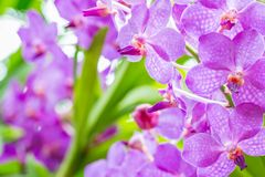 Abstraktes Muster von purpurroten Orchideen, Vanda Stockfotografie
