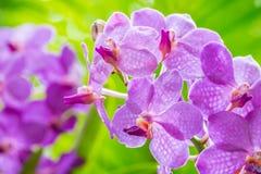 Abstraktes Muster von purpurroten Orchideen, Vanda Lizenzfreies Stockfoto