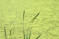 Abstraktes Natur-Hintergrund-Teich-Sumpf-Wasser, Algen Stockfoto