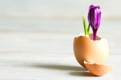 Abstraktes Symbol Ostern des defekten Eies und des violetten Krokusses des neuen Lebens Lizenzfreies Stockbild