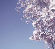Abstraktes träumerisches und unscharfes Bild Blütenbaums des Frühlinges des weißen Kirsch Selektiver Fokus Weinlese gefiltert und Stockfoto
