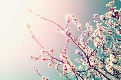 Abstraktes träumerisches und unscharfes Bild Blütenbaums des Frühlinges des weißen Kirsch Selektiver Fokus Weinlese gefiltert Stockfotografie