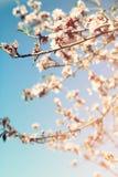 Abstraktes träumerisches und unscharfes Bild Blütenbaums des Frühlinges des weißen Kirsch Selektiver Fokus Weinlese gefiltert Lizenzfreie Stockfotografie