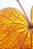 Abstraktes transparentes Goldblatt mit sch?ner Beschaffenheit auf wei?em Hintergrund Das Goldblatt oder der Yan Da O ist- eine se stockfoto