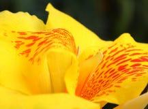 Abstraktes Weiche verwischt und Weichzeichnung bunt vom Blumenrohr, Canna, Cannaceaeblume mit dem schwarzen Hintergrund Die Blume Stockfotos