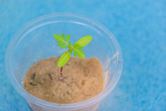 Abstraktes Weiche verwischt und Weichzeichnungssämlinge der Ringelblume im Lehm mit dem Plastikglas Lizenzfreies Stockfoto