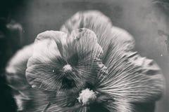 Abstraktion der Malve in einer Doppelbelichtung Schwarzweiss Lizenzfreies Stockfoto