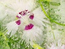 Abstraktion einer Gartennelkenblume Stockfotografie