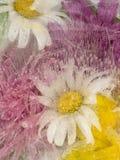 Abstraktion von Gänseblümchen im Eis Lizenzfreie Stockbilder
