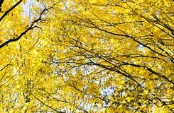 Abstraktion von Herbstgelbblättern Lizenzfreies Stockfoto