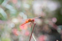 Abstreicheisen der Flammen-(Kracher) - Libellula-saturata Libelle Stockbild