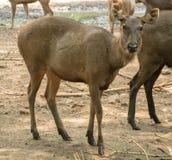 Abstreifen Deer& x28; Rusa-unicolor& x29; Lizenzfreies Stockbild