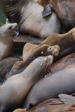 Abstreifen des Kalifornischen Seelöwen Lizenzfreie Stockfotos