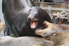Abstreifen des Kalifornischen Seelöwen Stockbild