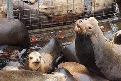 Abstreifen des Kalifornischen Seelöwen Stockfotografie